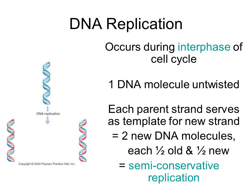 DNA Replication Occurs during interphase of cell cycle 1 DNA molecule untwisted Each parent strand serves as template for new strand = 2 new DNA molecules, each ½ old & ½ new = semi-conservative replication