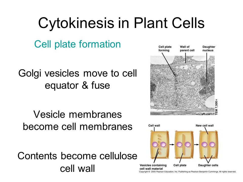 Cytokinesis in Plant Cells Cell plate formation Golgi vesicles move to cell equator & fuse Vesicle membranes become cell membranes Contents become cellulose cell wall