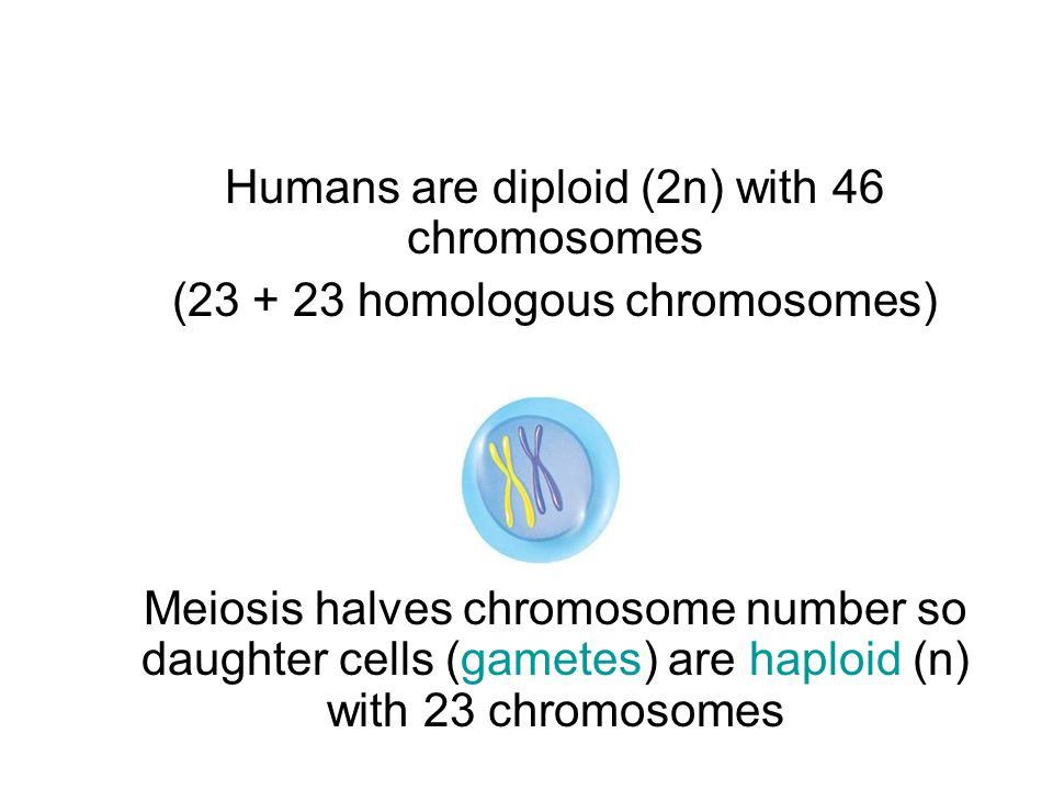 Humans are diploid (2n) with 46 chromosomes (23 + 23 homologous chromosomes) Meiosis halves chromosome number so daughter cells (gametes) are haploid (n) with 23 chromosomes