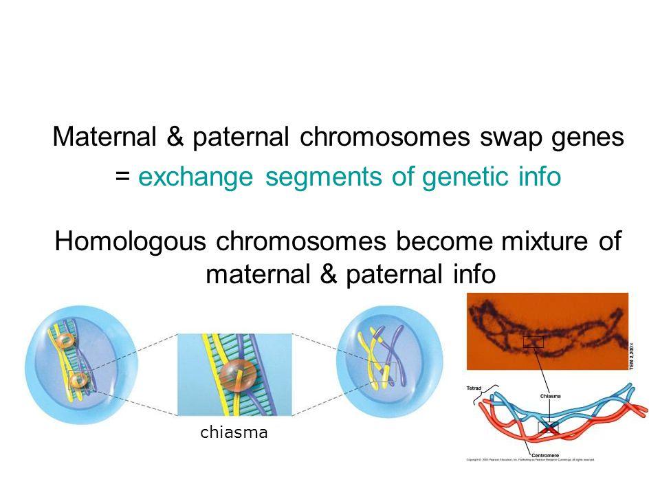 Maternal & paternal chromosomes swap genes = exchange segments of genetic info Homologous chromosomes become mixture of maternal & paternal info chiasma