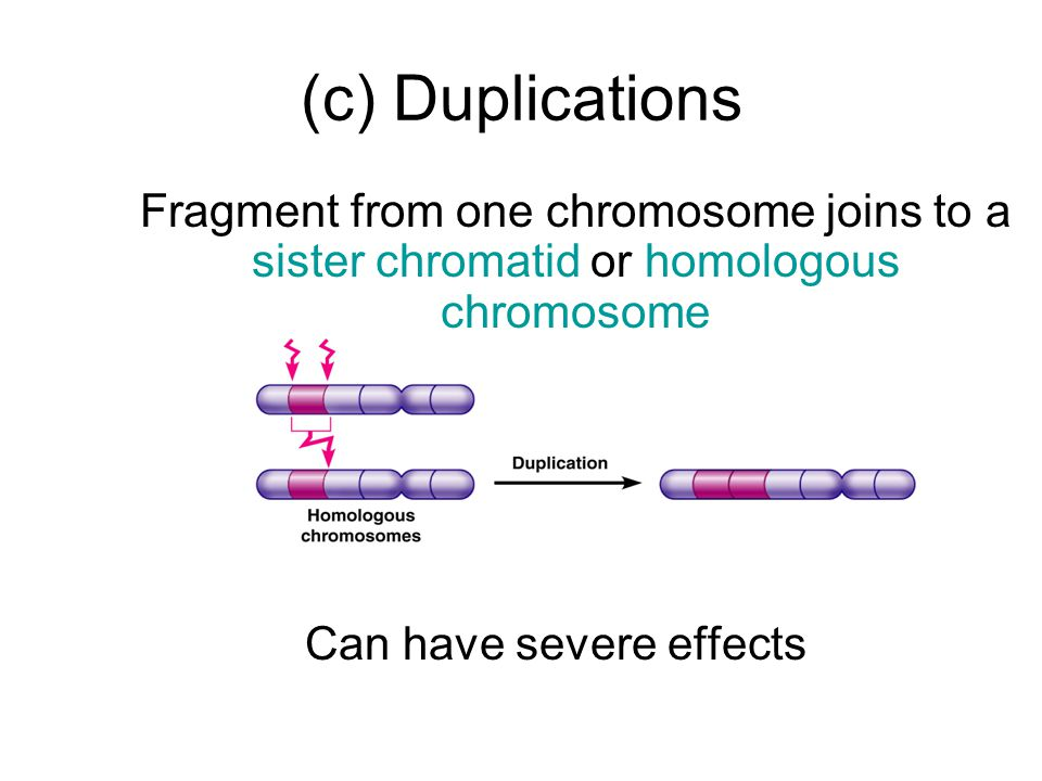 (c) Duplications Fragment from one chromosome joins to a sister chromatid or homologous chromosome Can have severe effects
