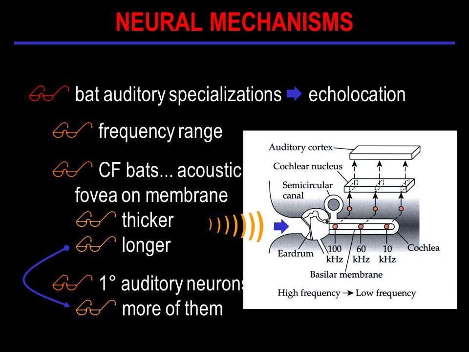 $ bat auditory specializations  echolocation  ) ) ) ) ) ) ) $ frequency range $ CF bats...