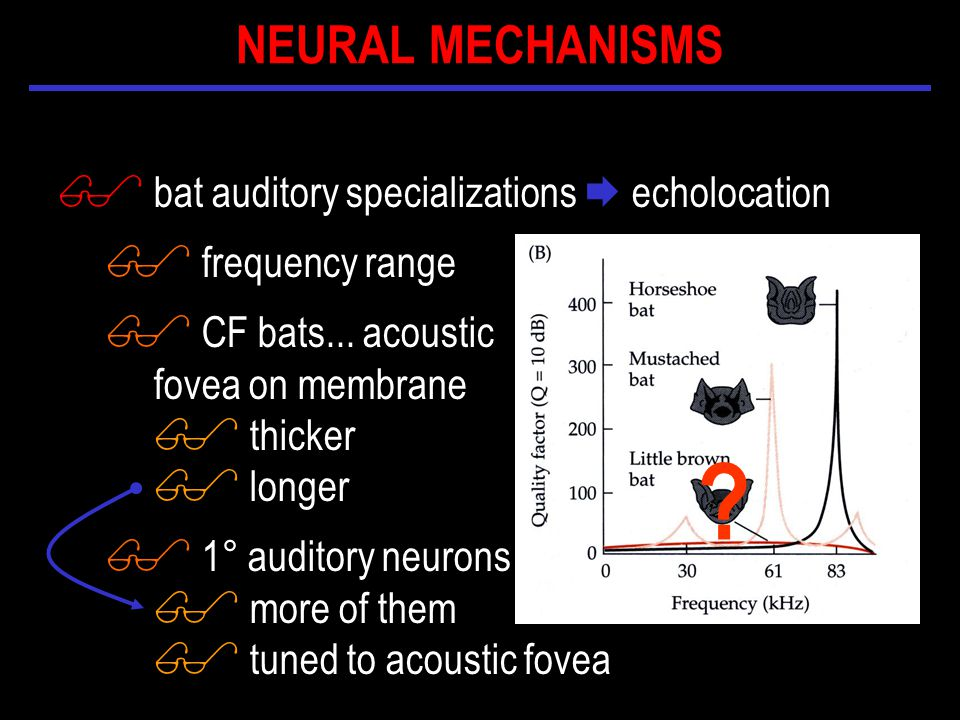 $ bat auditory specializations  echolocation $ frequency range $ CF bats...