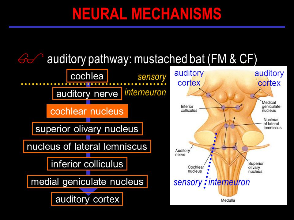 $ auditory pathway: mustached bat (FM & CF) cochlea auditory nerve cochlear nucleus inferior colliculus nucleus of lateral lemniscus medial geniculate nucleus superior olivary nucleus auditory cortex auditory cortex sensory interneuron sensory interneuron auditory cortex NEURAL MECHANISMS