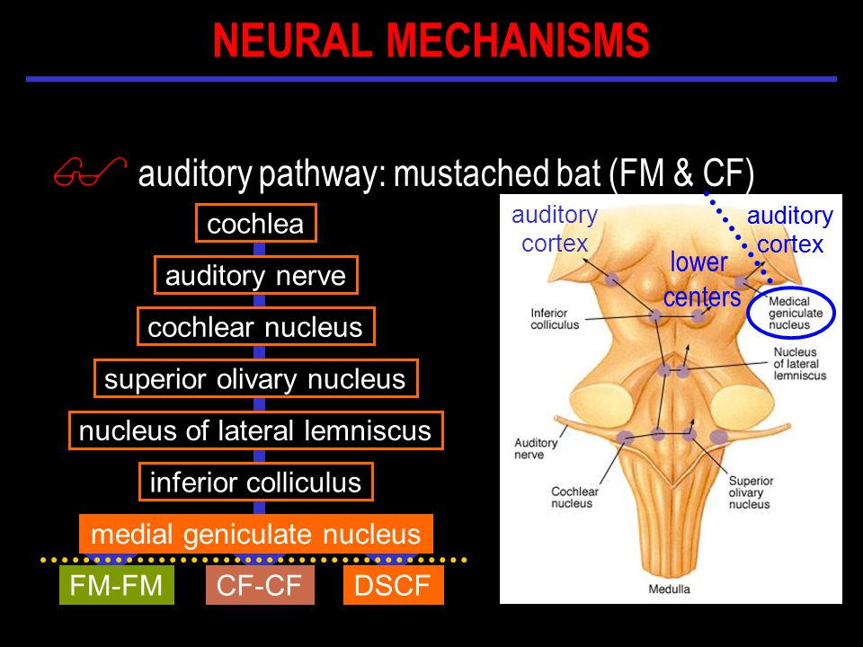 $ auditory pathway: mustached bat (FM & CF) cochlea auditory nerve cochlear nucleus inferior colliculus nucleus of lateral lemniscus medial geniculate nucleus superior olivary nucleus CF-CFFM-FMDSCF auditory cortex auditory cortex auditory cortex lower centers NEURAL MECHANISMS