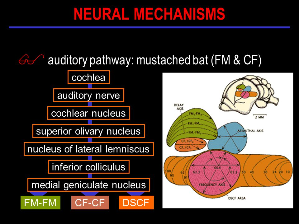$ auditory pathway: mustached bat (FM & CF) cochlea auditory nerve cochlear nucleus inferior colliculus nucleus of lateral lemniscus medial geniculate nucleus superior olivary nucleus CF-CFFM-FMDSCF NEURAL MECHANISMS