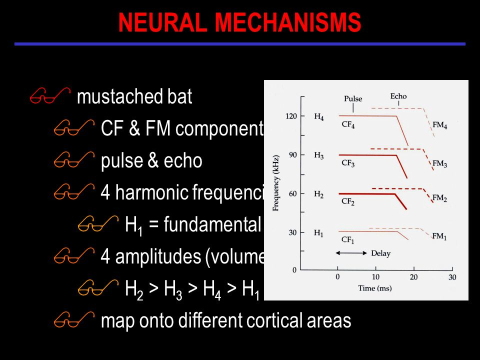 $ mustached bat $ CF & FM components $ pulse & echo $ 4 harmonic frequencies $ H 1 = fundamental $ 4 amplitudes (volumes) $ H 2 > H 3 > H 4 > H 1 $ map onto different cortical areas NEURAL MECHANISMS