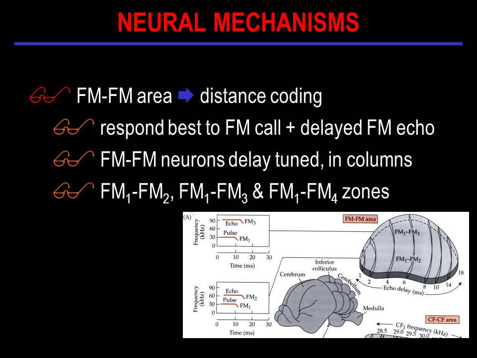 $ FM-FM area  distance coding $ respond best to FM call + delayed FM echo $ FM-FM neurons delay tuned, in columns $ FM 1 -FM 2, FM 1 -FM 3 & FM 1 -FM 4 zones NEURAL MECHANISMS