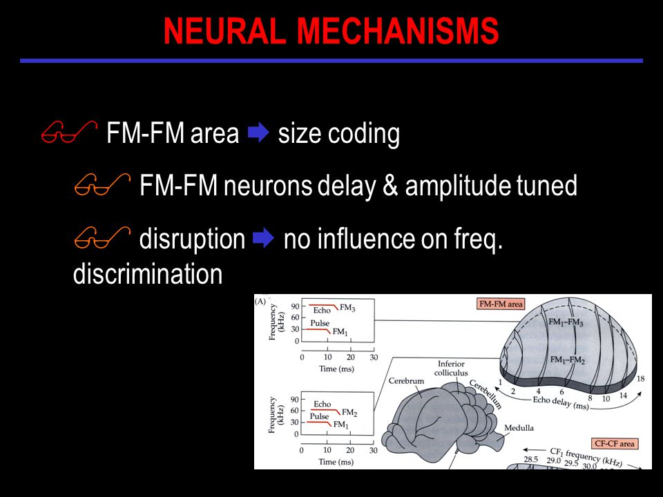 $ FM-FM area  size coding $ FM-FM neurons delay & amplitude tuned $ disruption  no influence on freq.