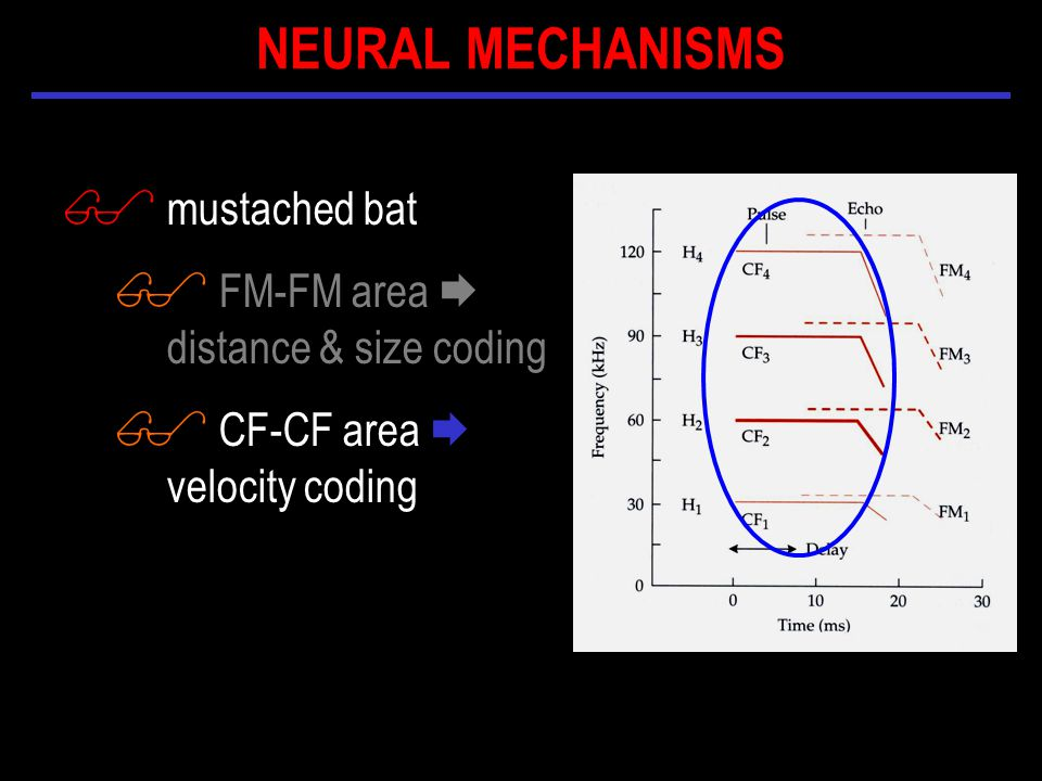 $ mustached bat $ FM-FM area  distance & size coding $ CF-CF area  velocity coding NEURAL MECHANISMS