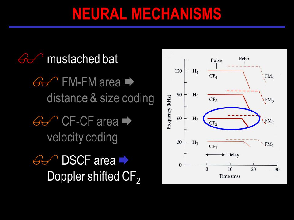 $ mustached bat $ FM-FM area  distance & size coding $ CF-CF area  velocity coding $ DSCF area  Doppler shifted CF 2 NEURAL MECHANISMS
