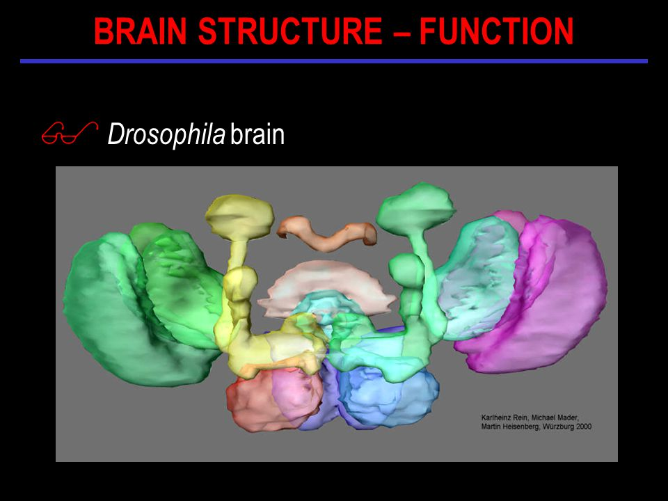 $ Drosophila brain BRAIN STRUCTURE – FUNCTION
