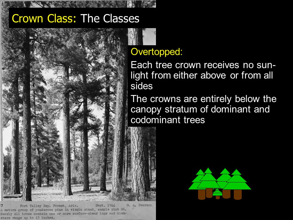 Crown Class: The Classes Overtopped: Each tree crown receives no sun- light from either above or from all sides The crowns are entirely below the canopy stratum of dominant and codominant trees