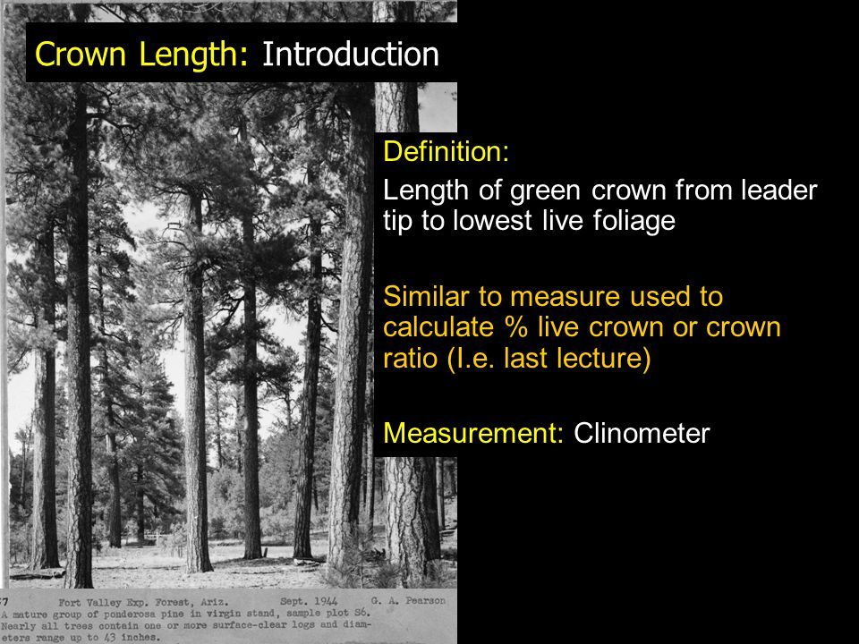 Crown Length: Introduction Definition: Length of green crown from leader tip to lowest live foliage Similar to measure used to calculate % live crown or crown ratio (I.e.