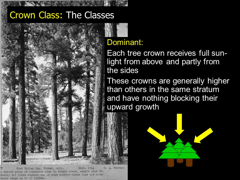 Crown Class: The Classes Dominant: Each tree crown receives full sun- light from above and partly from the sides These crowns are generally higher than others in the same stratum and have nothing blocking their upward growth