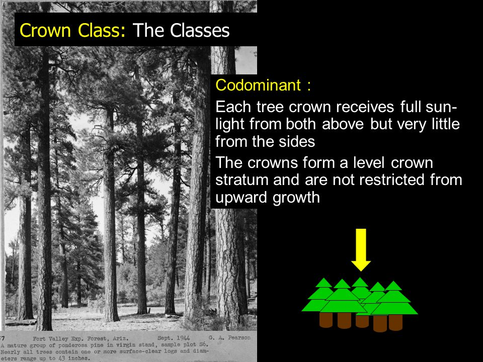 Crown Class: The Classes Codominant : Each tree crown receives full sun- light from both above but very little from the sides The crowns form a level crown stratum and are not restricted from upward growth