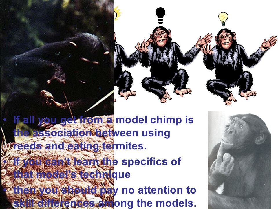 If all you get from a model chimp is the association between using reeds and eating termites.