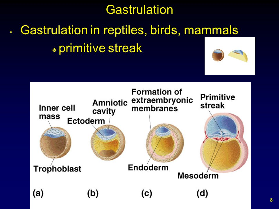 8 Gastrulation Gastrulation in reptiles, birds, mammals  primitive streak