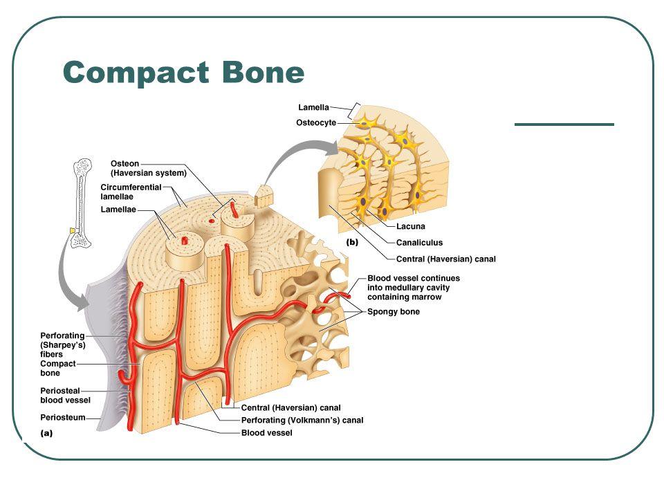 cortex bone 75704 | imgflash, Human Body