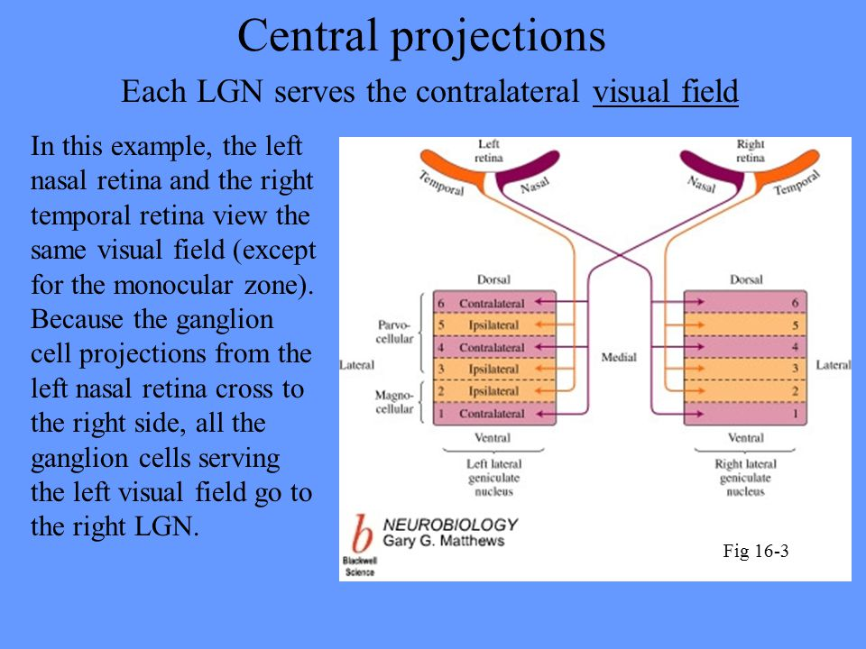 Central projections Each LGN serves the contralateral visual field In this example, the left nasal retina and the right temporal retina view the same visual field (except for the monocular zone).