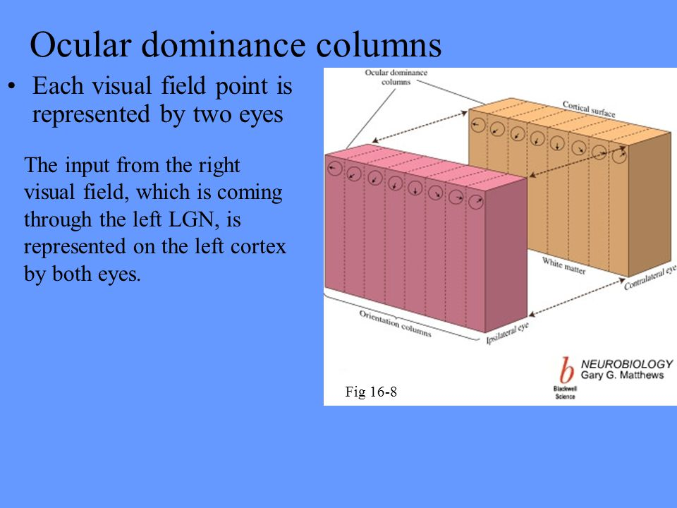Ocular dominance columns Each visual field point is represented by two eyes The input from the right visual field, which is coming through the left LGN, is represented on the left cortex by both eyes.