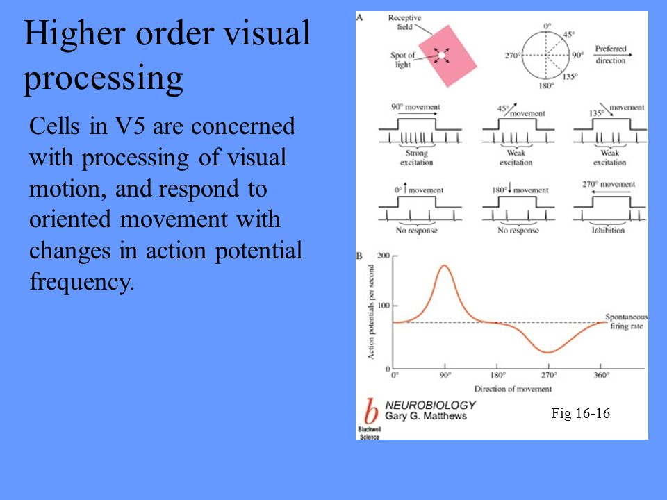 Higher order visual processing Cells in V5 are concerned with processing of visual motion, and respond to oriented movement with changes in action potential frequency.