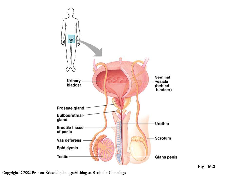 human penis diagram