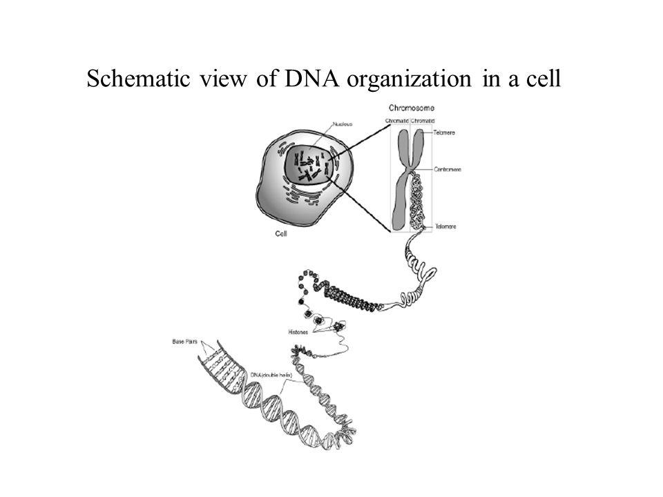 Molecular Biology Background. Schematic view of DNA organization in ...