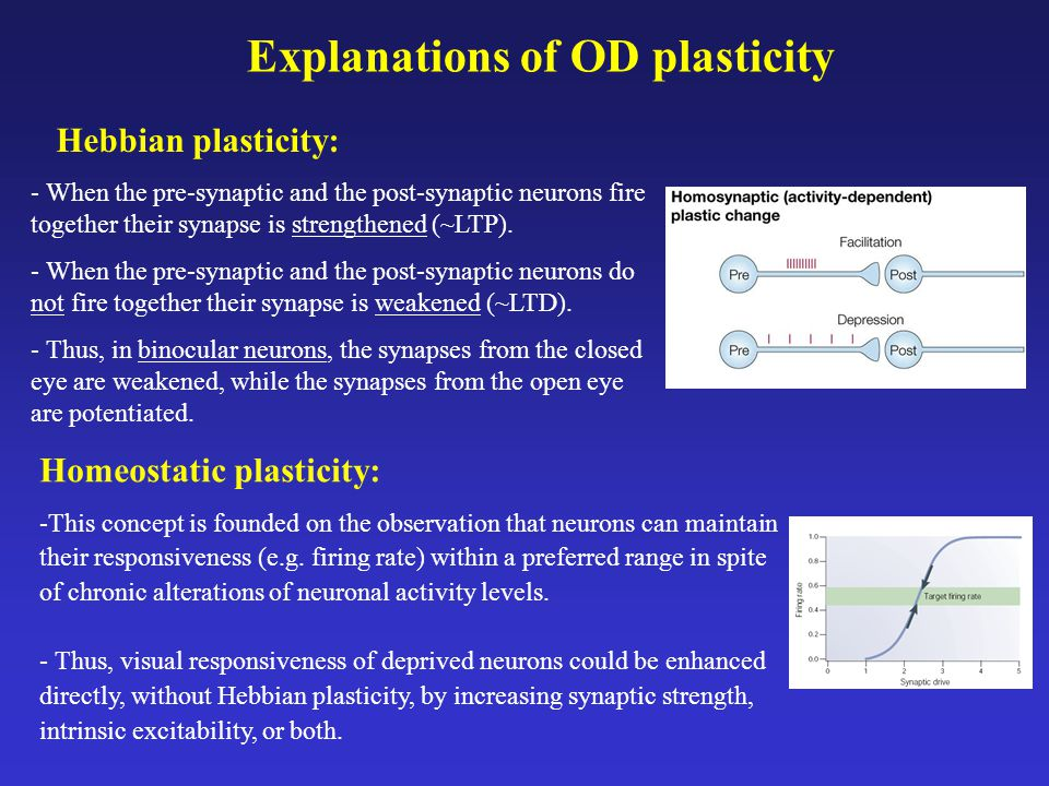 Explanations of OD plasticity Hebbian plasticity: Homeostatic plasticity: - When the pre-synaptic and the post-synaptic neurons fire together their synapse is strengthened (~LTP).