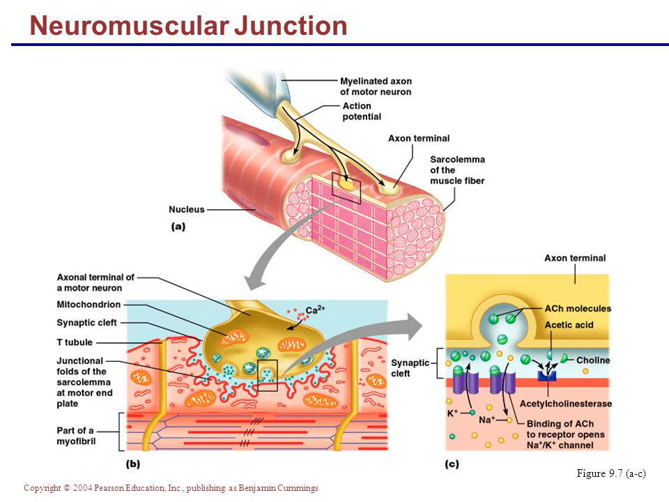Neuromuscular Junction Diagram Pearson Education - Wiring Source •