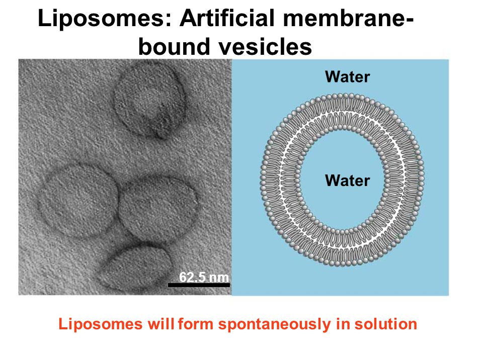 Membranes A cell's plasma membrane defines a cell and separates it ...