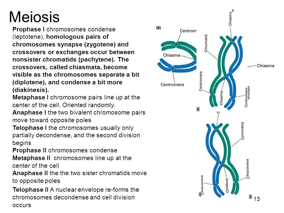 3 the chromosomal basis of heredity 2 3 chromosome structure 13 13 ccuart Images