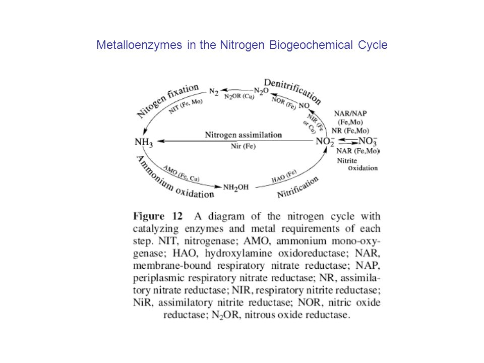 Metalloenzymes in the Nitrogen Biogeochemical Cycle