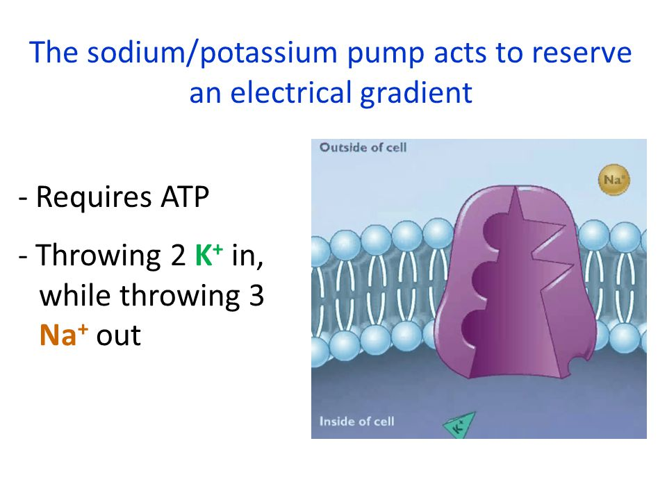 The sodium/potassium pump acts to reserve an electrical gradient - Requires ATP - Throwing 2 K + in, while throwing 3 Na + out