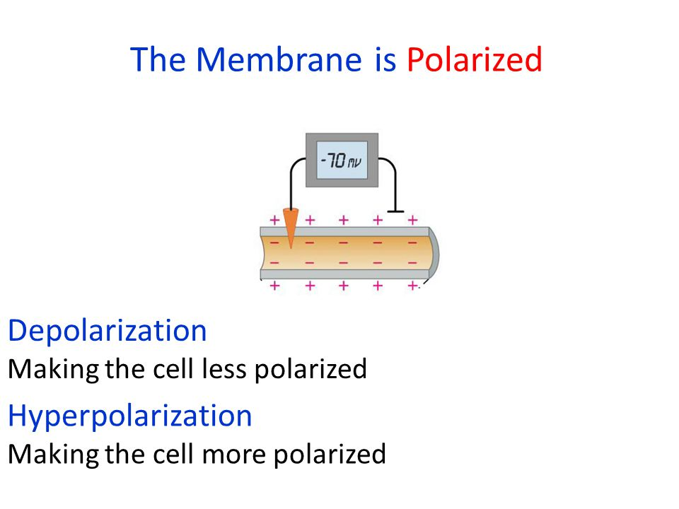The Membrane is Polarized Depolarization Making the cell less polarized Hyperpolarization Making the cell more polarized