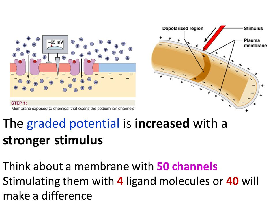 Think about a membrane with 50 channels Stimulating them with 4 ligand molecules or 40 will make a difference The graded potential is increased with a stronger stimulus
