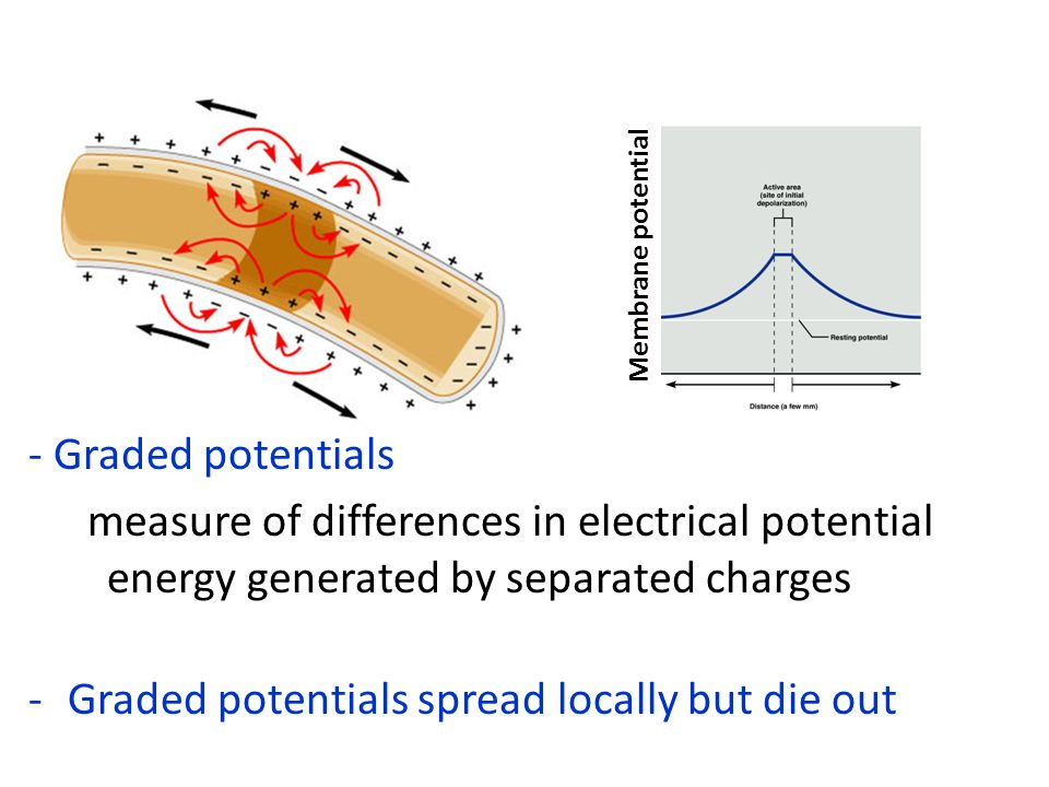 Membrane potential - Graded potentials measure of differences in electrical potential energy generated by separated charges -Graded potentials spread locally but die out
