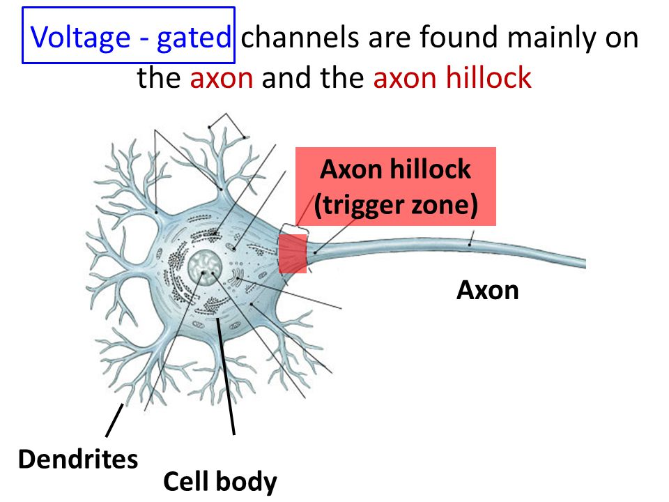 Axon Cell body Dendrites Axon hillock (trigger zone) Voltage - gated channels are found mainly on the axon and the axon hillock
