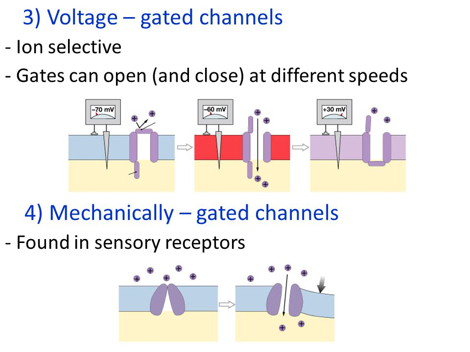 3) Voltage – gated channels 4) Mechanically – gated channels - Ion selective - Gates can open (and close) at different speeds - Found in sensory receptors