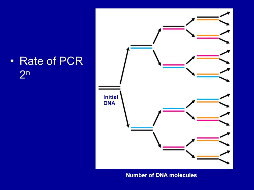 Rate of PCR 2 n Initial DNA 8421 Number of DNA molecules