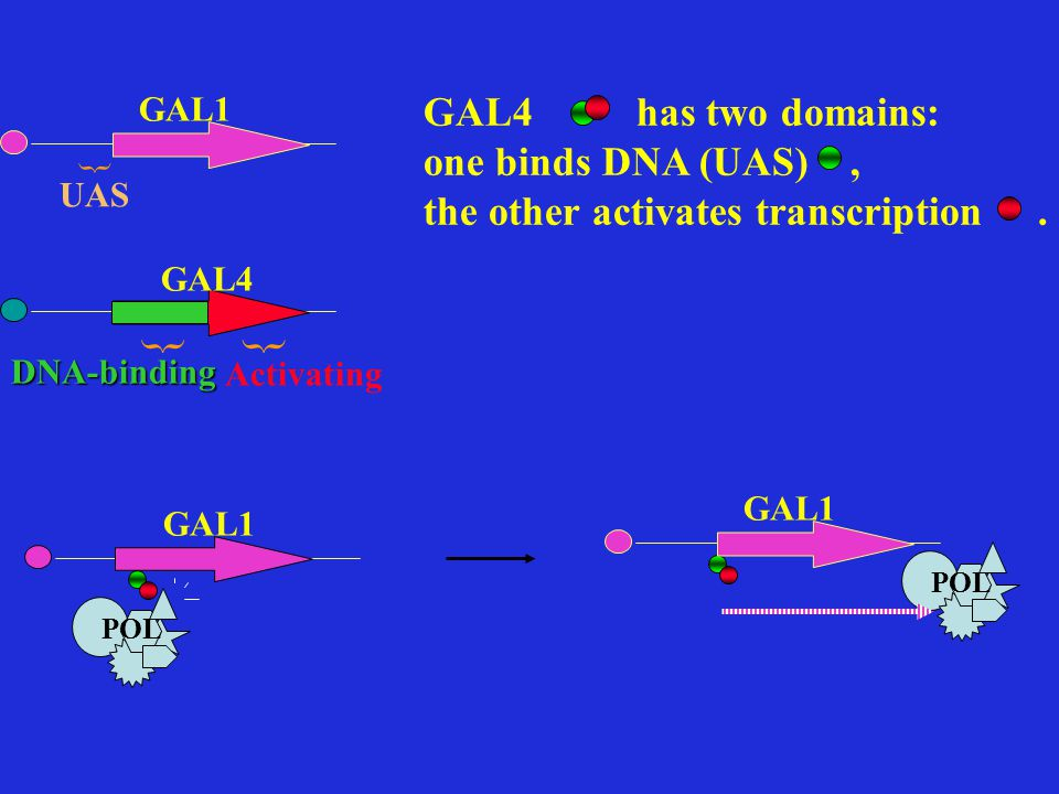 GAL4 has two domains: one binds DNA (UAS), the other activates transcription.
