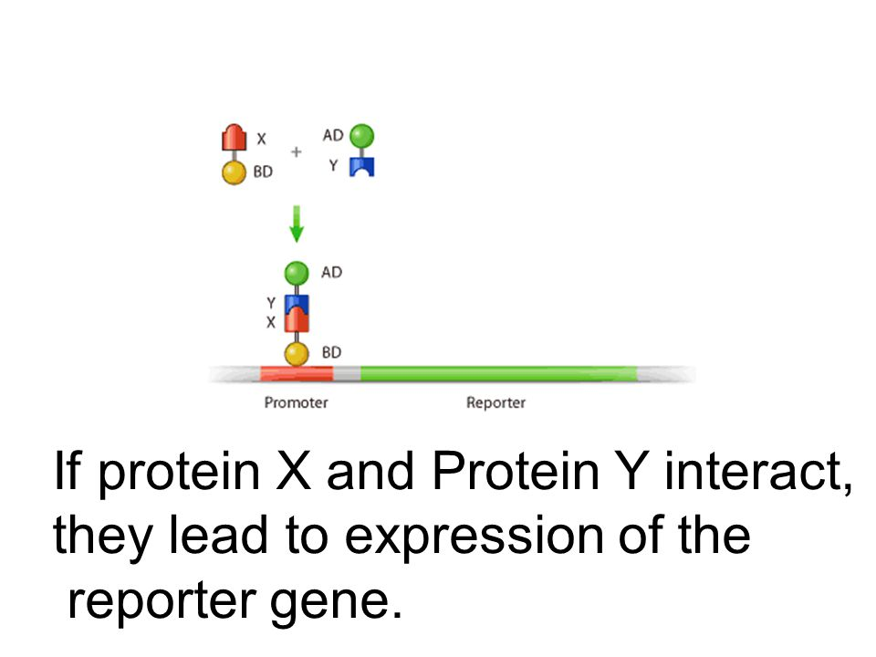 If protein X and Protein Y interact, they lead to expression of the reporter gene.