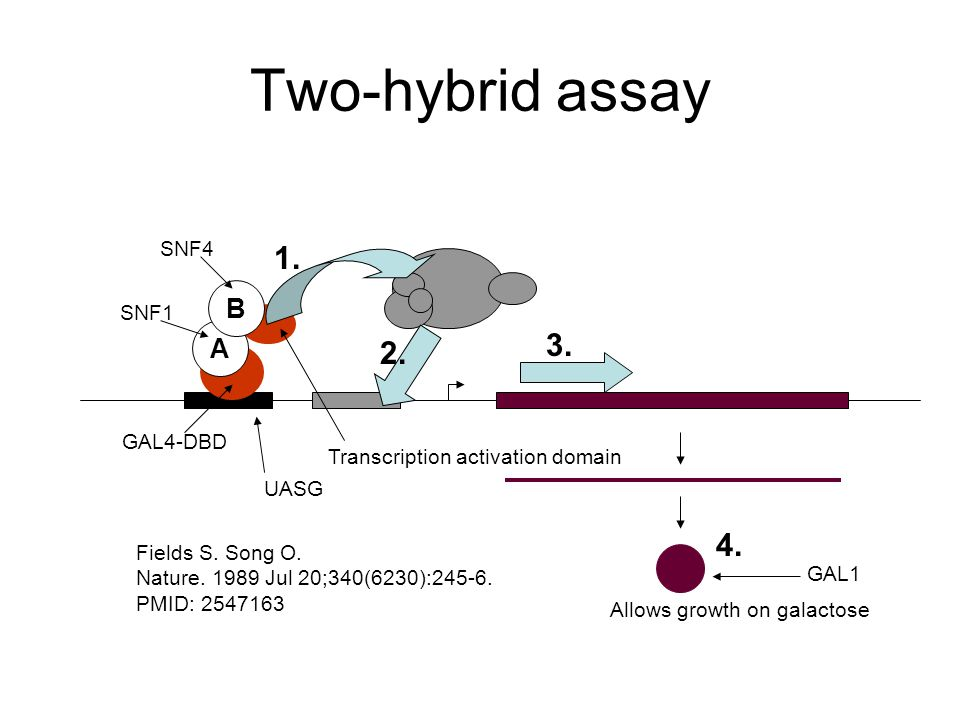 Two-hybrid assay A B Fields S. Song O.