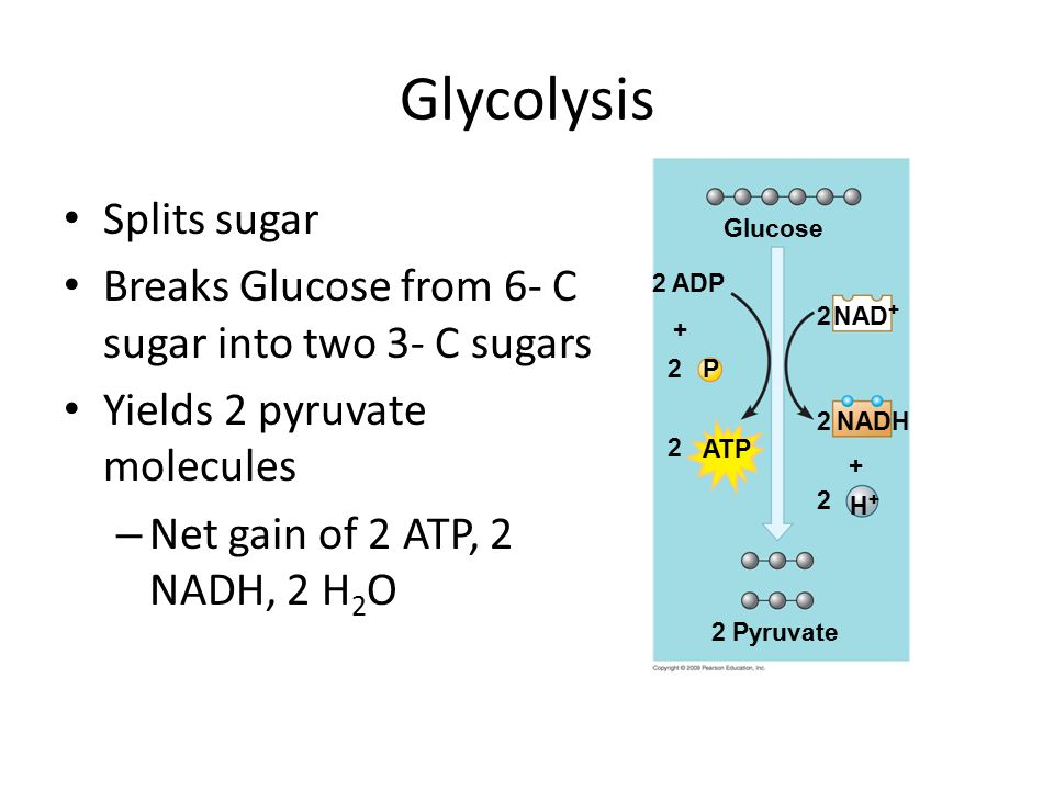 Glycolysis Splits sugar Breaks Glucose from 6- C sugar into two 3- C sugars Yields 2 pyruvate molecules – Net gain of 2 ATP, 2 NADH, 2 H 2 O Glucose NAD ADP NADH2 P2 2 ATP 2 + H+H+ 2 Pyruvate