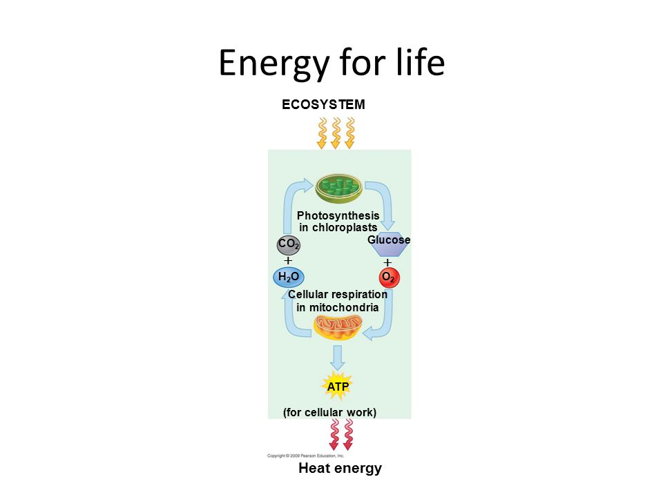 Energy for life ECOSYSTEM Photosynthesis in chloroplasts Glucose Cellular respiration in mitochondria H2OH2O CO 2 O2O2   (for cellular work) ATP Heat energy