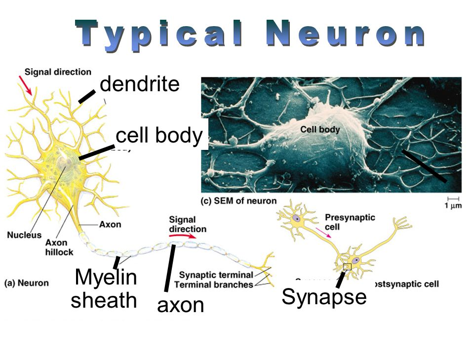 cell body dendrite Synapse axon Myelin sheath