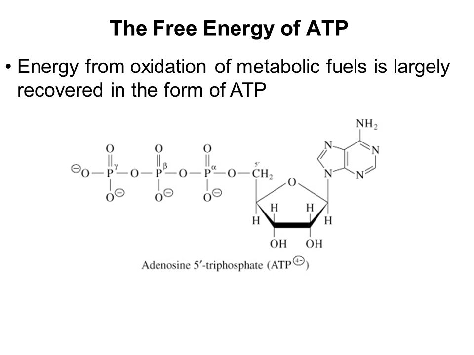 Prentice Hall c2002Chapter 1011 The Free Energy of ATP Energy from oxidation of metabolic fuels is largely recovered in the form of ATP