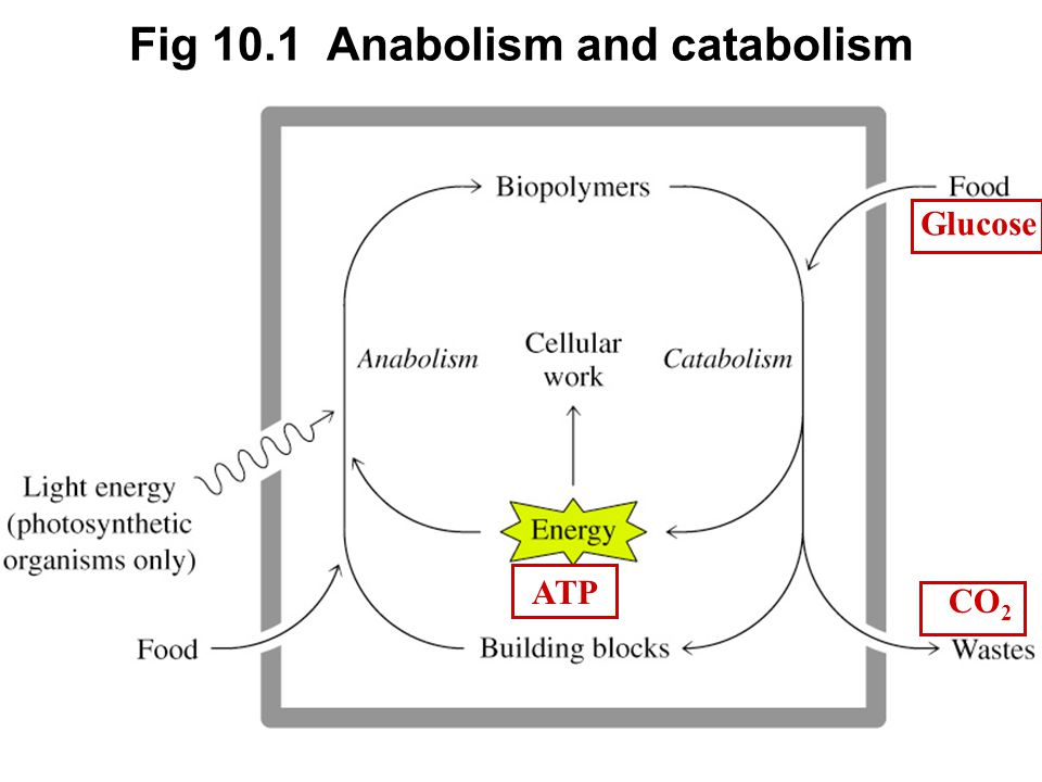 Prentice Hall c2002Chapter 1017 Fig 10.1 Anabolism and catabolism Glucose CO 2 ATP