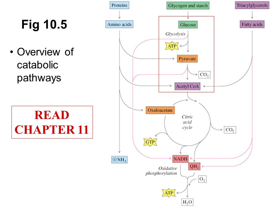 Prentice Hall c2002Chapter 1020 Fig 10.5 Overview of catabolic pathways READ CHAPTER 11