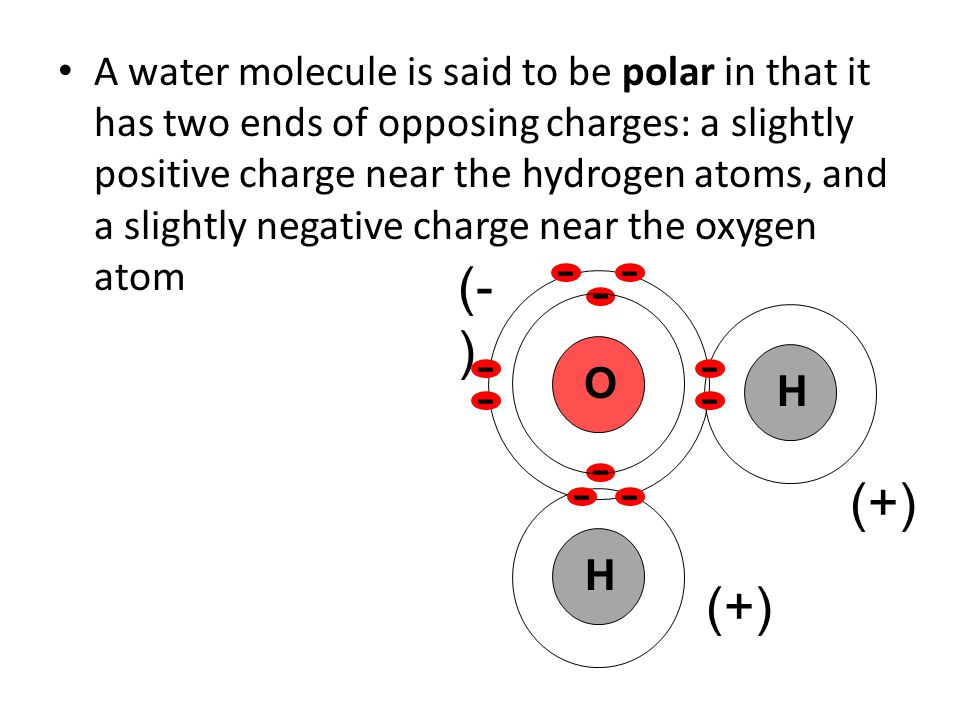 A water molecule is said to be polar in that it has two ends of opposing charges: a slightly positive charge near the hydrogen atoms, and a slightly negative charge near the oxygen atom O H H (- ) (+)